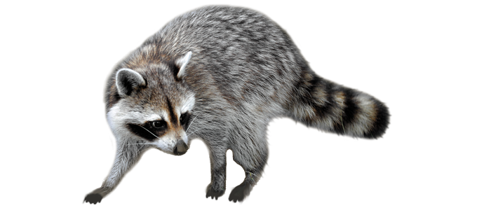 Colorado Springs Animal Removal - Raccoon, Squirrel Control